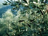 fronde-di-ulivo-21