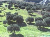 olivenbaume-in-sizilien
